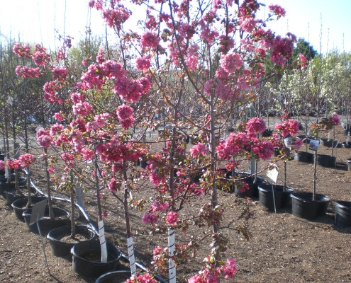 Crab Trees in Bloom
