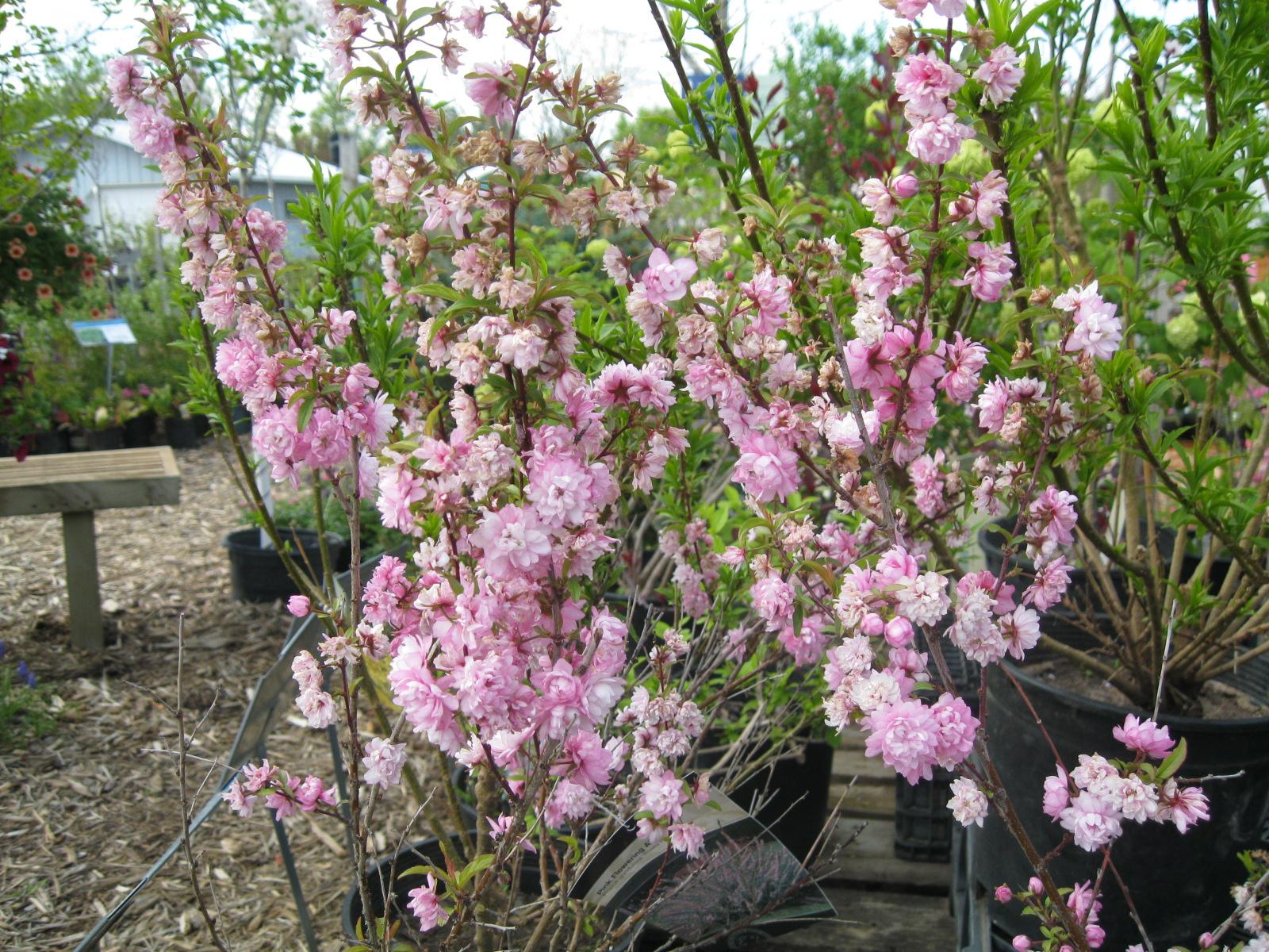 Pink flowering almond Lookup BeforeBuying