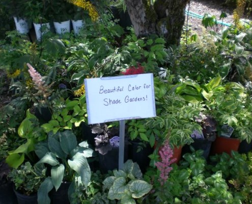 Shade Plants in Nursery