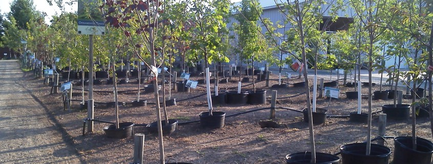 Rows of Trees in Greenhouse