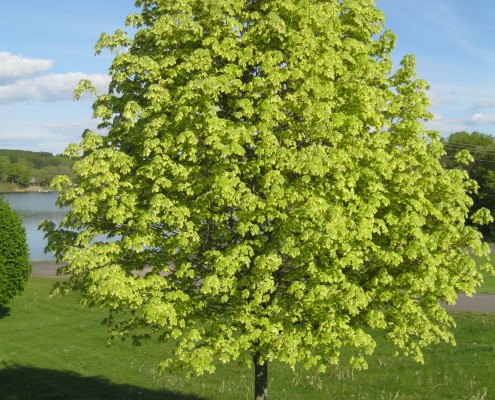 Variegated Maple planted at Lake Kountry