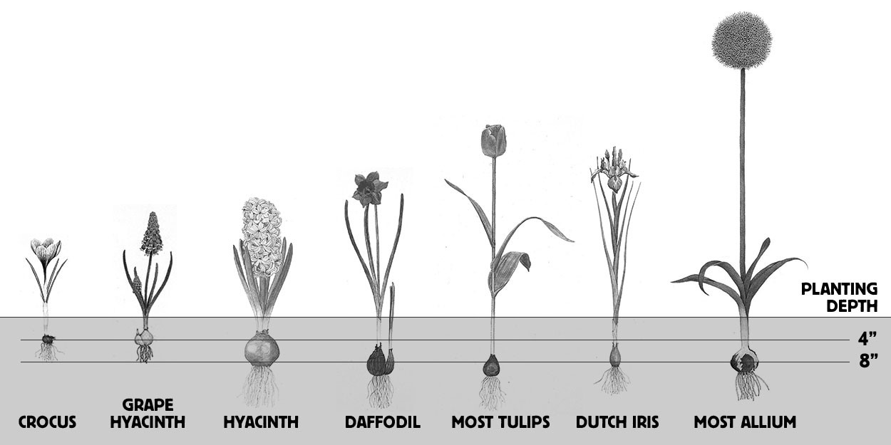 Planting Fall Bulbs Depth