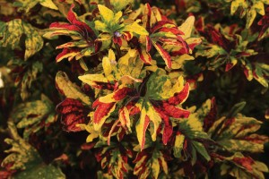 Twist and Twirl - Coleus