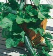 Organic and Heirloom Vegetables - Cucumber Plant